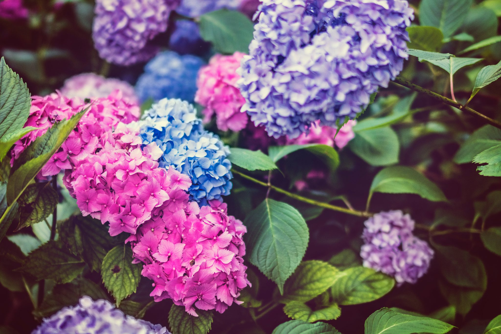 Living Creatively with Fibro | Hydrangeas