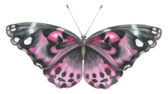 An image of a pink and black butterfly